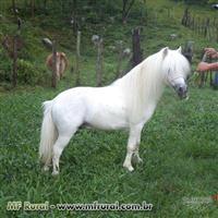 Ponei branco inteiro (mini ponei) para reprodução
