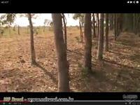 Eucalipto em pé ou derrubado (a combinar)