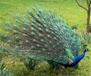 Casal adulto idade reprodução pavão azul