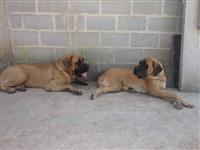 Filhotes de Mastiff Ingles com excelente pedigree