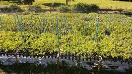 Mudas Nativas para Reflorestamento