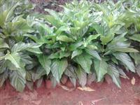 Vendo mudas de Noni (morinda citrifolia)