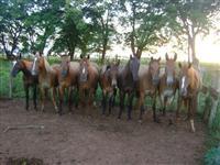 Venda 6 equinos e 2 muares em Bataiporã/MS