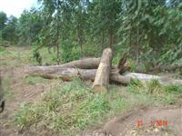 Toras de madeira nativa