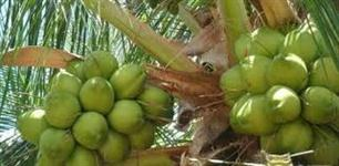Coco verde com o melhor preco - Frutas selecionadas - Confiança e credibilidade