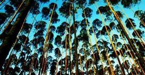 Vendo Árvore Guanandi de 7 anos