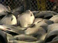 Peixes para abate