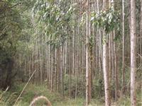 Investidores: Reflorestamento Pinus e Eucalipto 10alq. 40 mil árvores