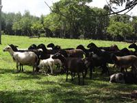 Lote de 35 ovelhas e 25 borregas prenhes de Dorper