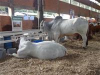 Venda de touros Brahman.
