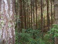 Compra - Fazenda de aproximadamente 500 ALQ de Pinus ou Eucalipto