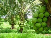 Mudas de coco grandes e pequenas e quiosques de piaçava