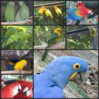 Papagaio