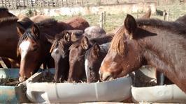 Venda de cavalo da raça Crioulo