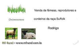 Reprodutores e borregas Suffolk, animais de campo