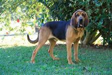 Filhotes De Bloodhound - Cão De Santo Humberto - Microchipados