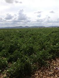 Arrendamento de Áreas Irrigadas