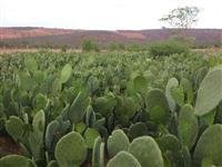 Mudas de Palma Forrageira, cultivar gigante (Opuntia ficus-indica Mill)