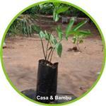 Muda de bambu guadua chacoensis