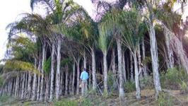 Lindos coqueiro Licuri