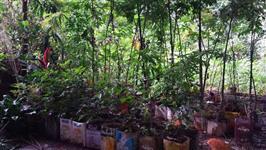 Mudas Nativas - Reflorestamento