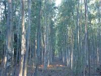 Pés de eucalipto na região de Iguatemi - MS