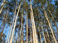 Procuro área de 30.000 Hectares com reflorestamento de EUCALIPTO ou PINUS
