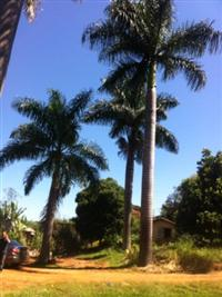 Vendo palmeiras de 18 anos