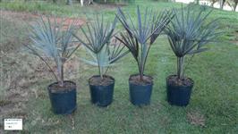 PALMEIRA AZUL - ( Bismarckia Nobilis )