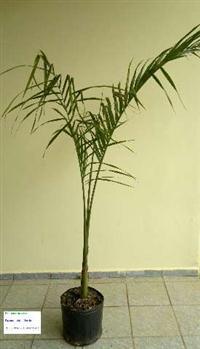 Mudas De Palmeira Azul Bismarckia Nobilis Em Goias