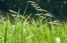 Brachiaria Ruziziensis Sementes de Brachiaria Ruziziensis