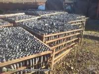 Bandejas Metálicas 961 células (31x31) com tubetes para mudas Pinus e Eucalipto