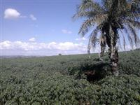 Vende-se Plantio de Mandioca IAC
