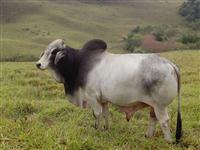 Touro Brahman PO