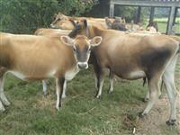 Novilhas Jersey Prenhas,Terneiras de varias idades e Vacas