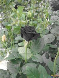 10 Sementes da Rara Rosa Negra