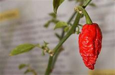 10 Sementes da Pimenta Mais Ardida do Mundo