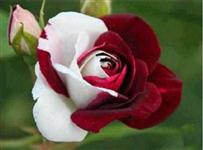 10 Sementes da Rosa BIcolor
