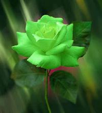 10 Sementes da Sem Igual Rosa Verde