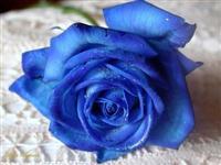 10 Sementes da Rosa Azul