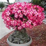 10 Sementes de Rosas do Deserto
