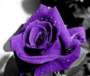 10 Sementes da Rara Rosa Roxa