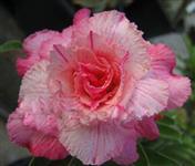 5 Sementes da genuína Rosa Do Deserto