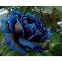 10 Sementes a Rosa Azul Suprema
