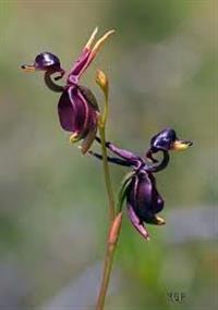 10 Sementes da Orquídea Pato Voador