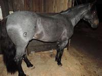 Cavalo crioulo garanhão confirmado