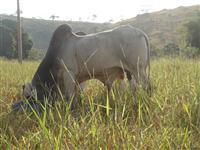 Tabapua (Reprodutores registrados)