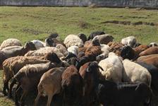 Liquidação de plantel de ovinos