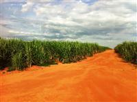 Fazenda Bem-te-vi (Cana de acucar 1º corte na Região de Colina/SP)