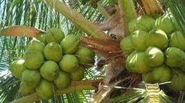 Cocô Verde